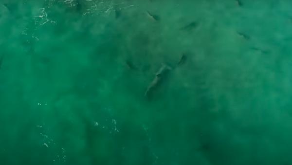 Así los tiburones martillo cazan a otros depredadores - Sputnik Mundo