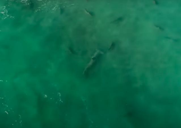 Así los tiburones martillo cazan a otros depredadores