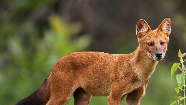 Un perro rojo de Asia - Sputnik Mundo
