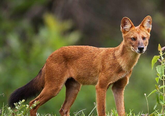 Un perro rojo de Asia