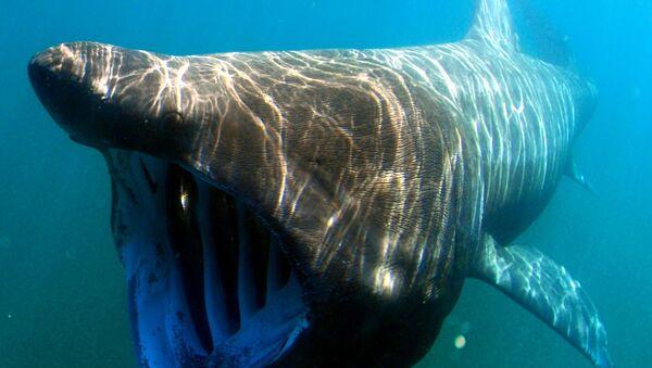 Un tiburón peregrino (archivo) - Sputnik Mundo