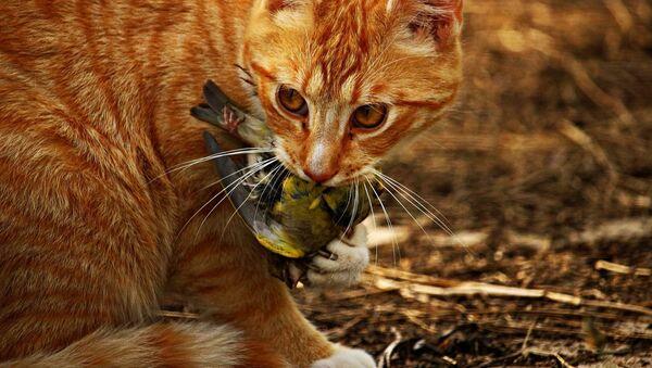 Un gato sostiene a un pajaro en su boca - Sputnik Mundo