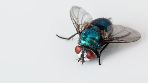 Una mosca (imagen referencial) - Sputnik Mundo