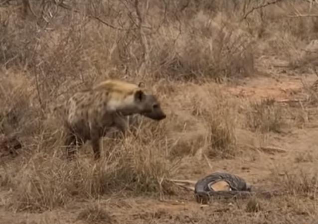 Una hiena deja a una pitón sin postre y con un amargo sabor de boca