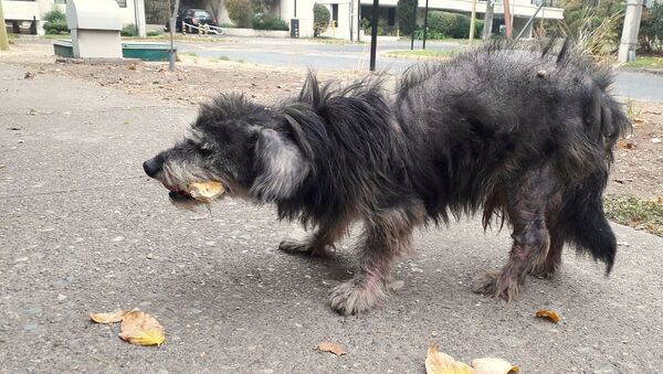 Perro callejero en Santiago de Chile - Sputnik Mundo