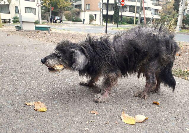 Perro callejero en Santiago de Chile