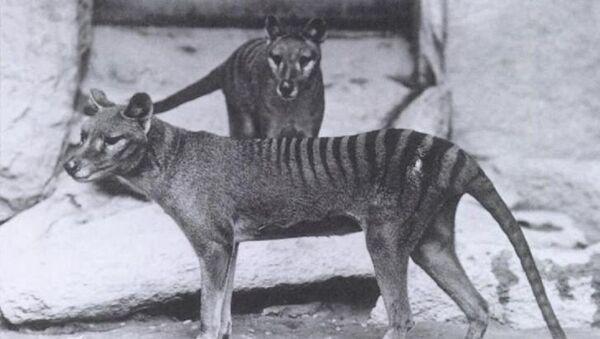 Tigres de Tasmania - Sputnik Mundo
