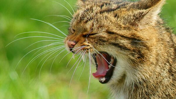 Un gato silvestre - Sputnik Mundo