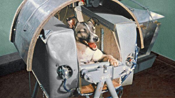 Laika, el primer ser vivo terrestre en orbitar la Tierra, durante una prueba en 1957 - Sputnik Mundo