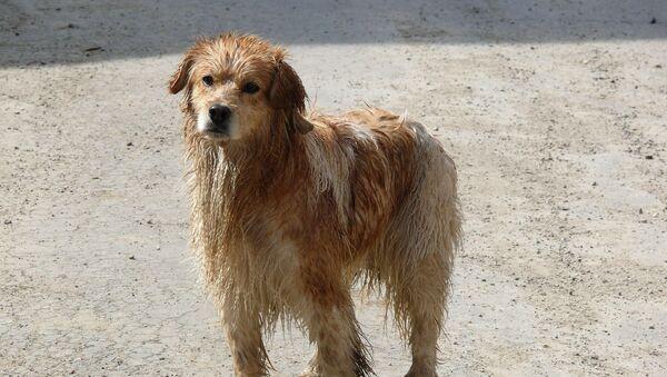 Un perro, foto de archivo - Sputnik Mundo