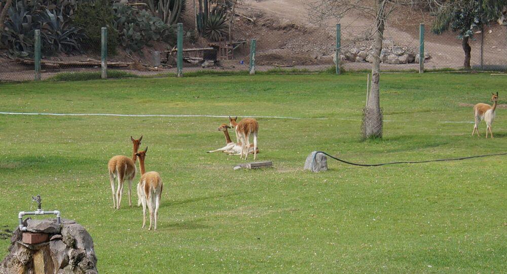 Vicuñas en un zoológico de Perú