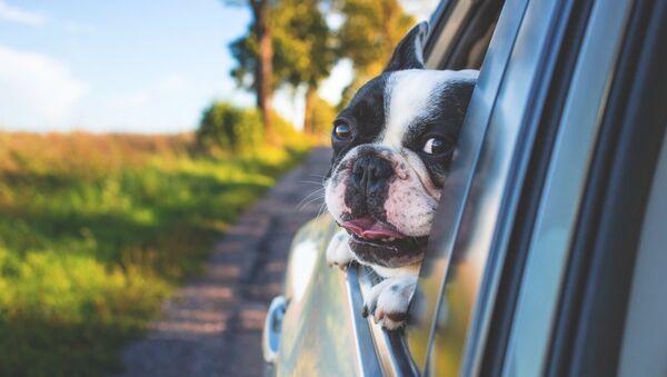 Un perro en el auto - Sputnik Mundo