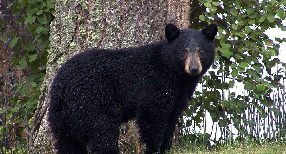 Un oso negro (imagen referencial)
