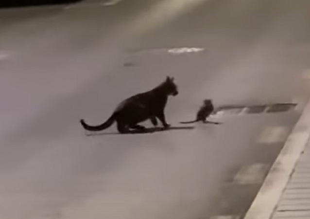 Una rata le planta cara a un gato con trucos al estilo ninja