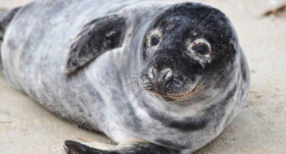 Una foca gris (imagen referencial)