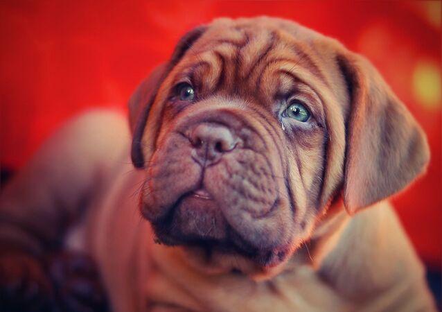 Cachorro de dogo de Burdeos (imagen de archivo)