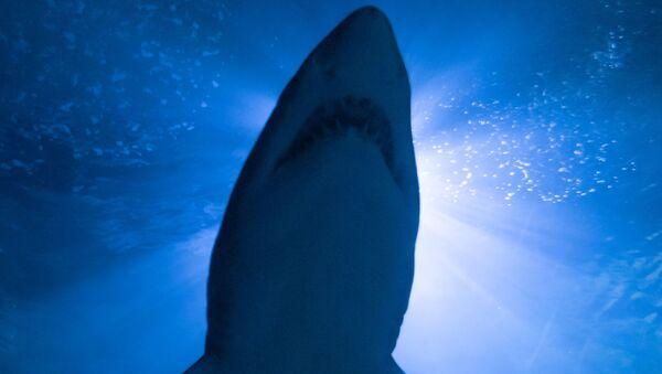 Un tiburón - Sputnik Mundo