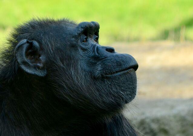 Un chimpancé, referencial