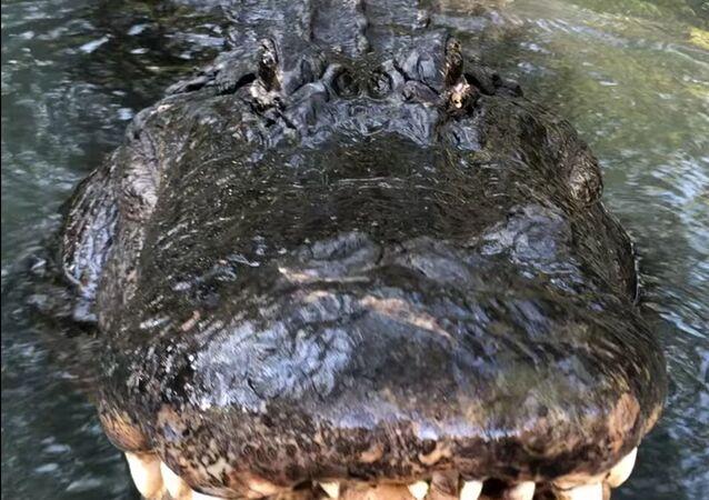 Un gigante aligátor sorprende a todos con el 'rugido de tigre'