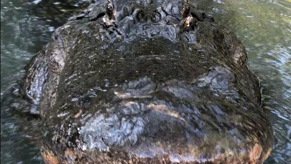 Un gigante aligátor sorprende a todos con el 'rugido de tigre' - Sputnik Mundo