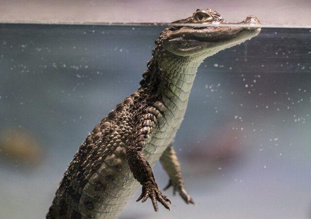 Un cocodrilo, foto de archivo