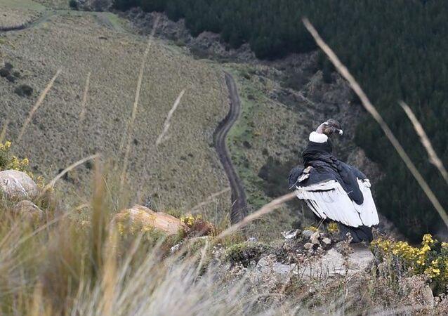 Iguiñaro, un cóndor andino