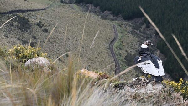 Iguiñaro, un cóndor andino - Sputnik Mundo