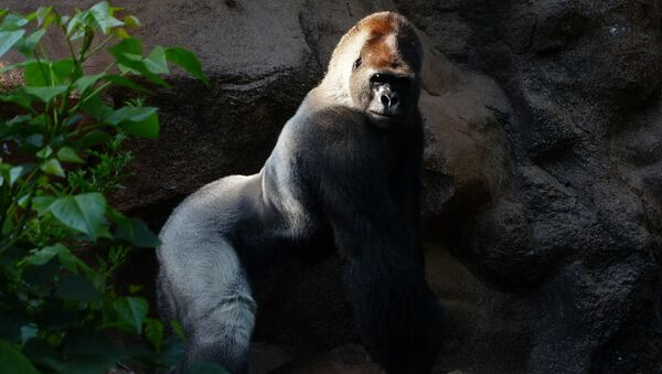 Una gorila, referencial - Sputnik Mundo