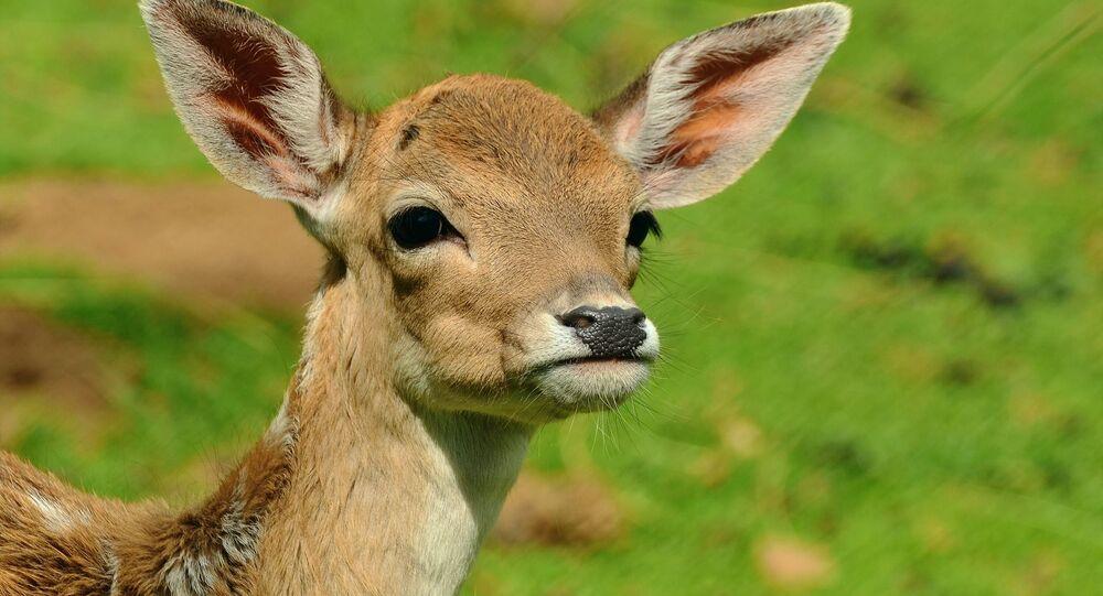 Un ciervo (imagen referencial)