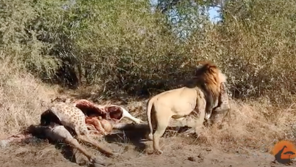 Un león se lleva la cría nonata de una jirafa muerta - Sputnik Mundo