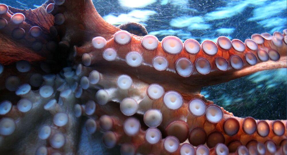 Calamar (imagen referencial)