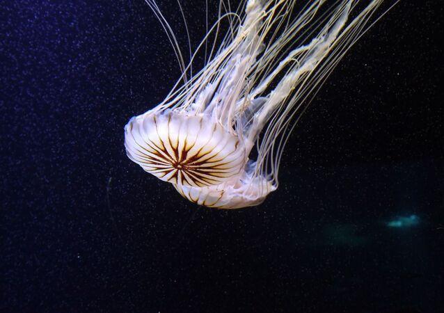 Una medusa (imagen referencial)