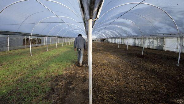 Un trabajador en un invernadero (imagen referencial) - Sputnik Mundo