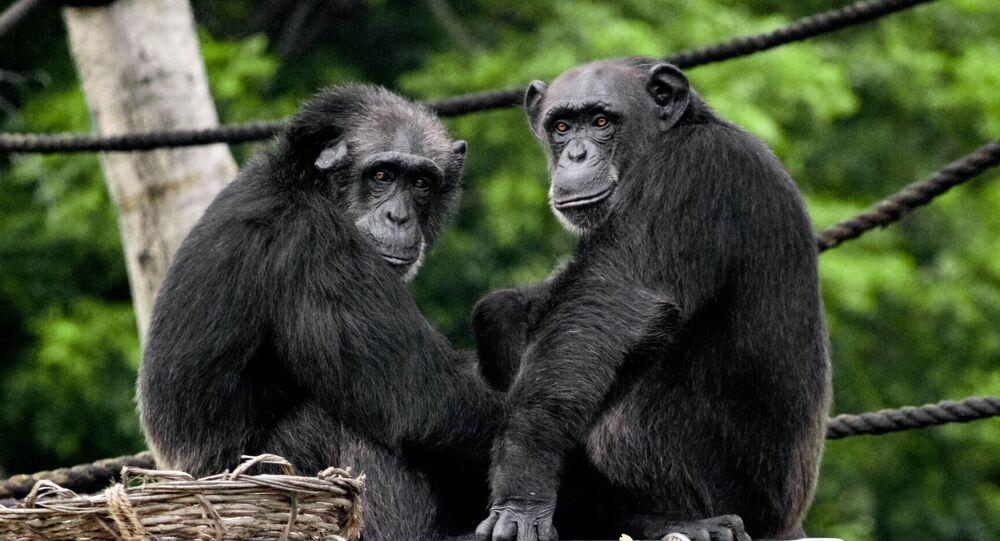 Dos chimpancés (imagen referencial)