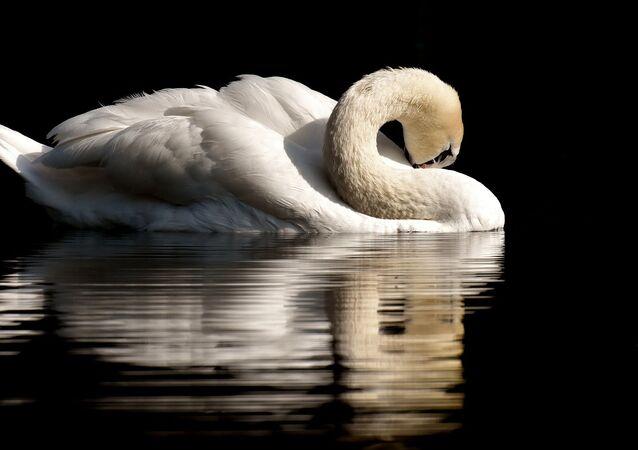 Un cisne, referencial