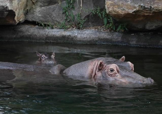 La bebé hipopótamo Gloria junto a su madre