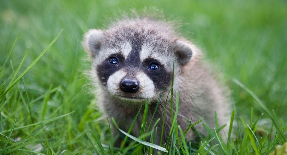 Un bebé mapache (archivo)