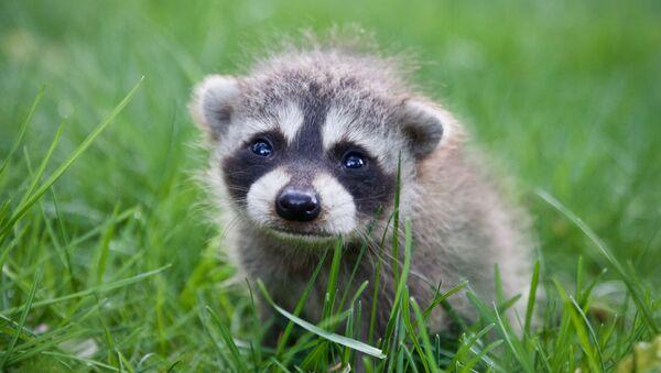 Un bebé mapache (archivo) - Sputnik Mundo