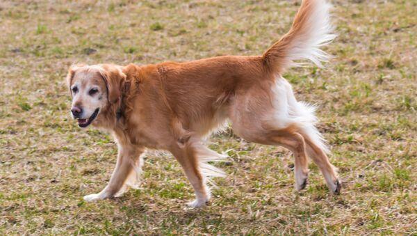 Un perro de la raza golden retriever (archivo) - Sputnik Mundo