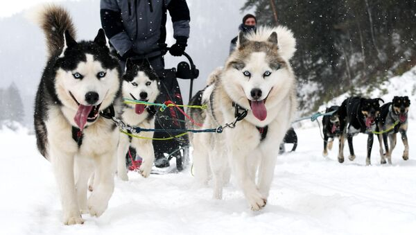 Un trineo con perros Husky - Sputnik Mundo