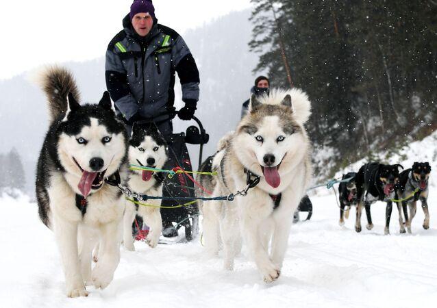 Un trineo con perros Husky