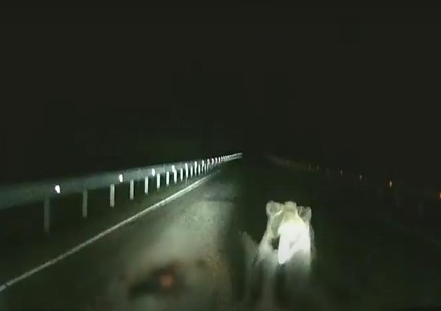 Un oso se abalanza sobre un vehículo en mitad de la noche