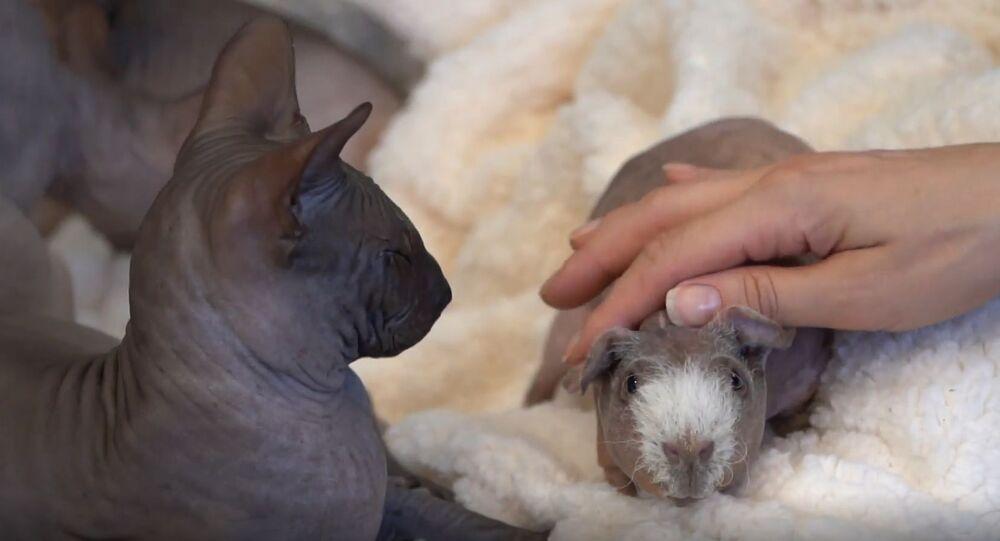 Luis, la cobaya sin pelo y a su familia de gatos esfinge