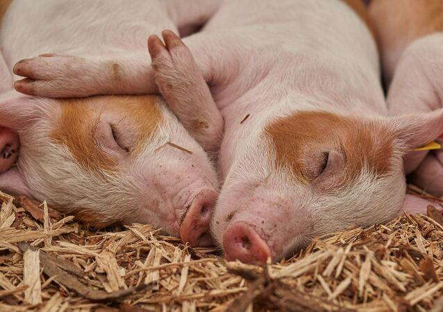 Unos cerdos, referencial