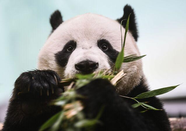 El panda macho Ru Yi, que habita en el Zoológico de Moscú