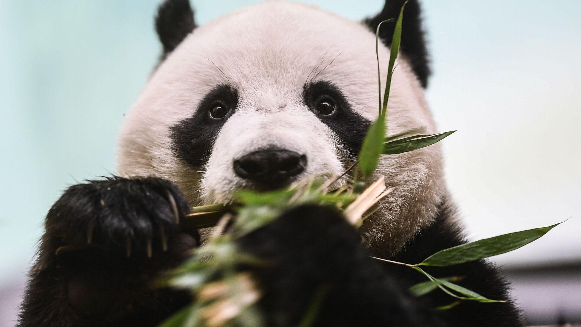 El panda macho Ru Yi, que habita en el Zoológico de Moscú - Sputnik Mundo, 1920, 06.09.2021