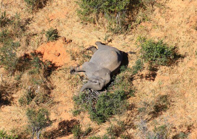 Un elefante muerto en Botsuana