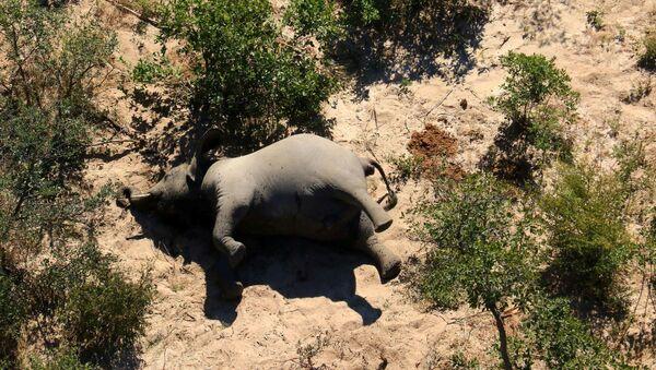 Un elefante muerto en Botsuana - Sputnik Mundo