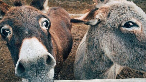 Imagen referencial de burros - Sputnik Mundo