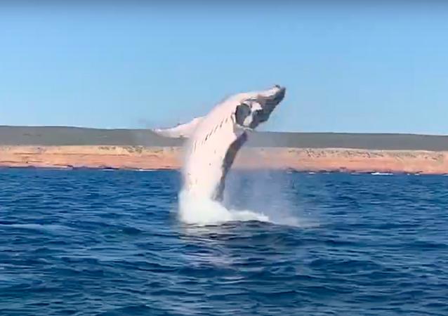 Una ballena jorobada salta del agua